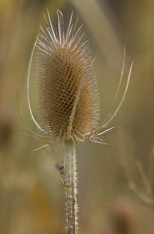 """фото """"Hello"""" метки: природа, grasshopper, teasel"""