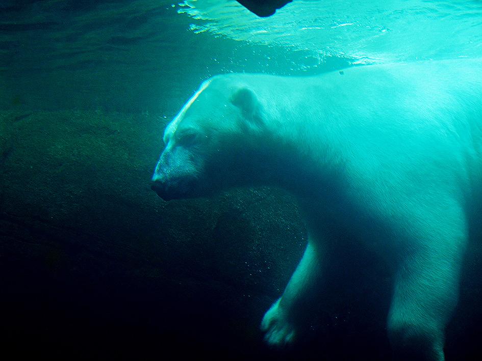 """фото """"Polar Bear Sub Water"""" метки: природа, репортаж, портрет,"""