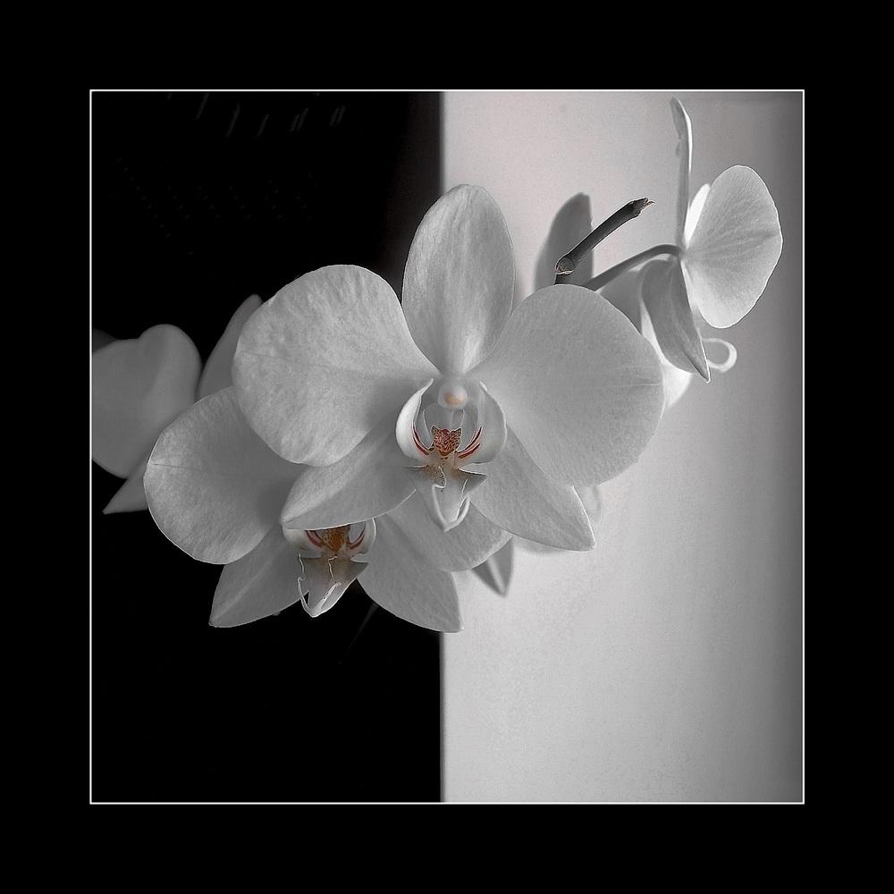"""фото """"Орхидея. (ч/б? )"""" метки: натюрморт,"""