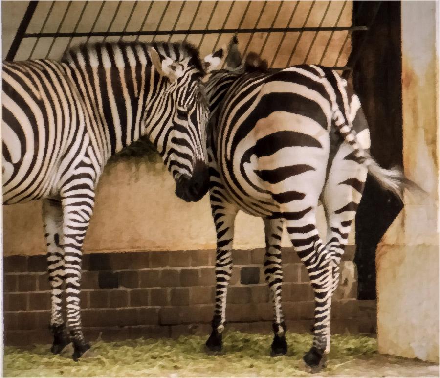 """фото """"Половинка моя, Половиночка...."""" метки: разное, foto liubos, зебры, зоопарк, половинка, шутка"""
