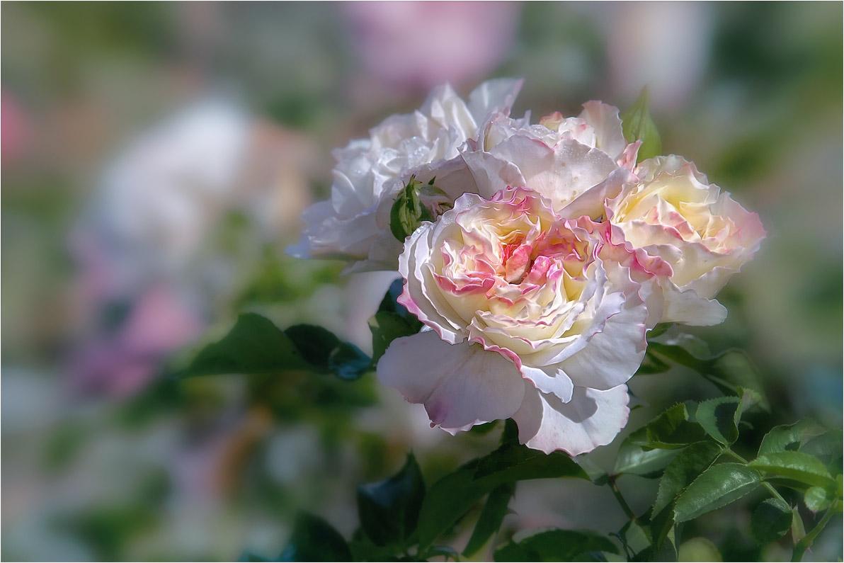 """фото """"Как хороши, как свежи были розы…"""" метки: макро и крупный план, природа,"""
