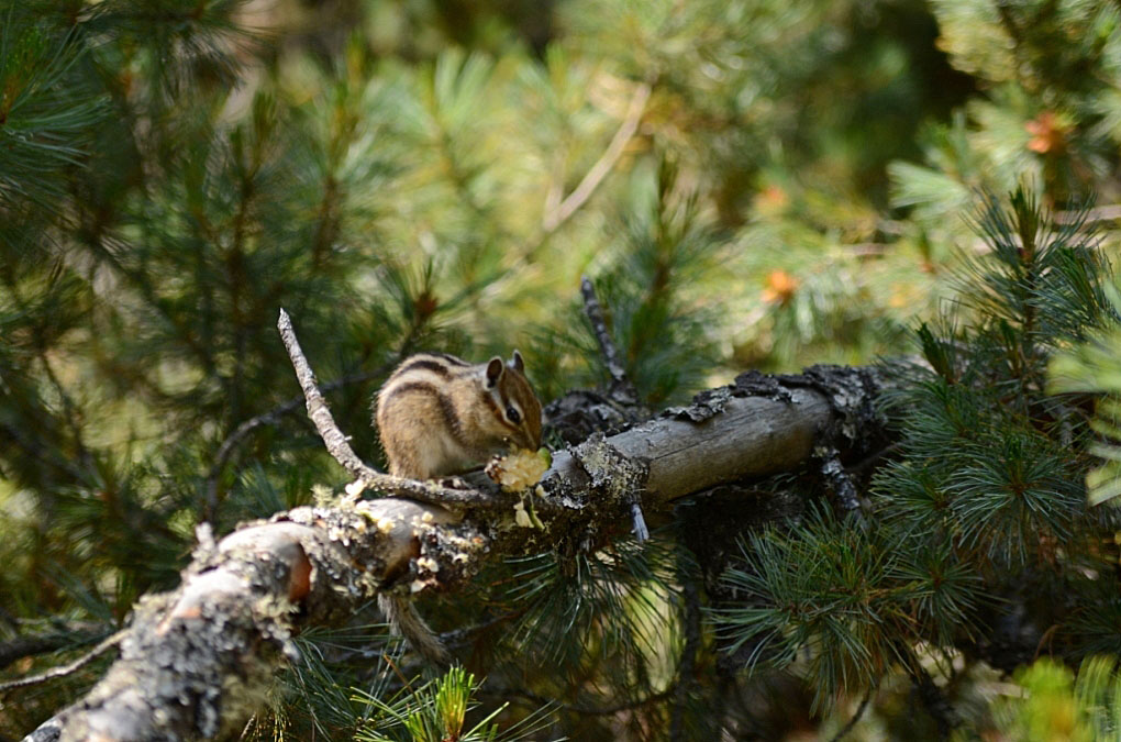 """фото """"Не отвлекайте, обедаю!"""" метки: природа, Байкал, Северный Байкал, дикие животные"""