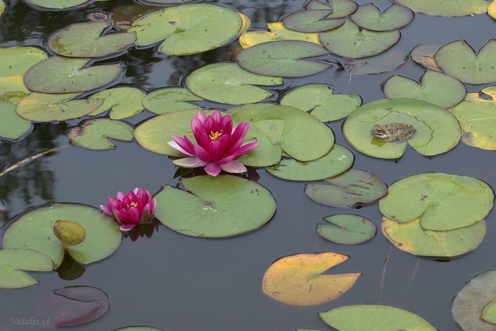 """фото """"В ожидании принца"""" метки: природа, кувшинки, лягушка, цветы"""