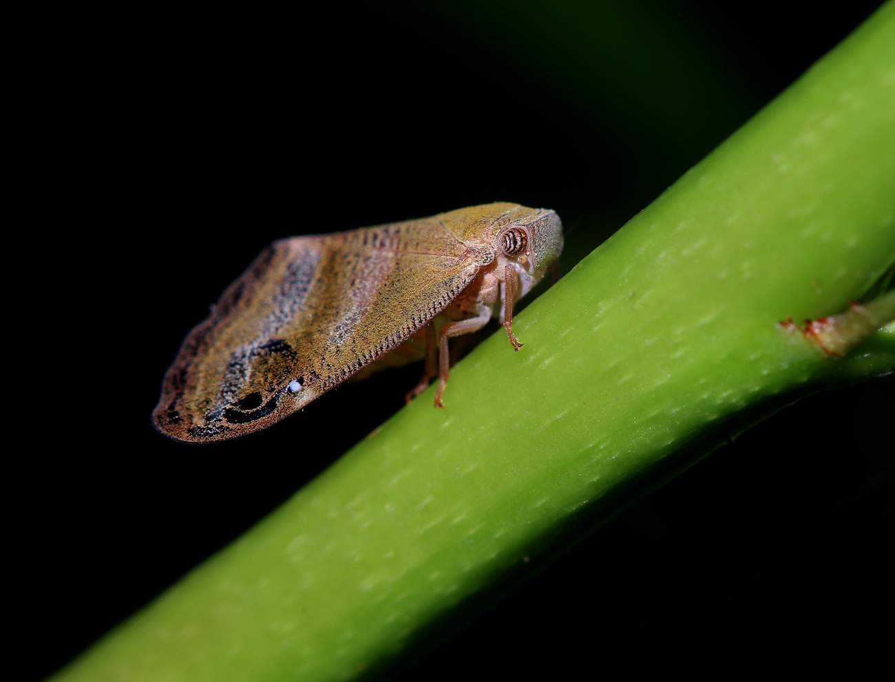 двух частей личинка цикады с пушистым хвостом фото интересные факты
