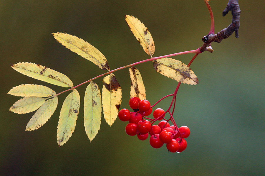 "фото ""Ой, рябина, рябинушка"" метки: природа, красиво, осень, рябина, сибирь"