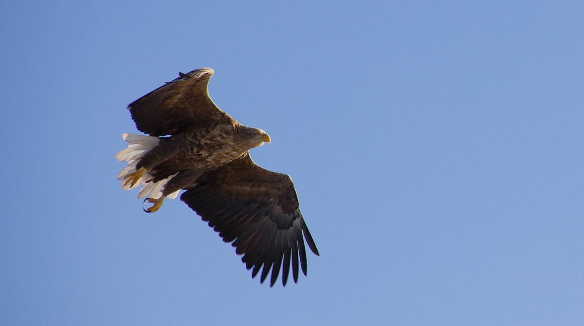 """фото """"орлан-белохвост"""" метки: природа,"""