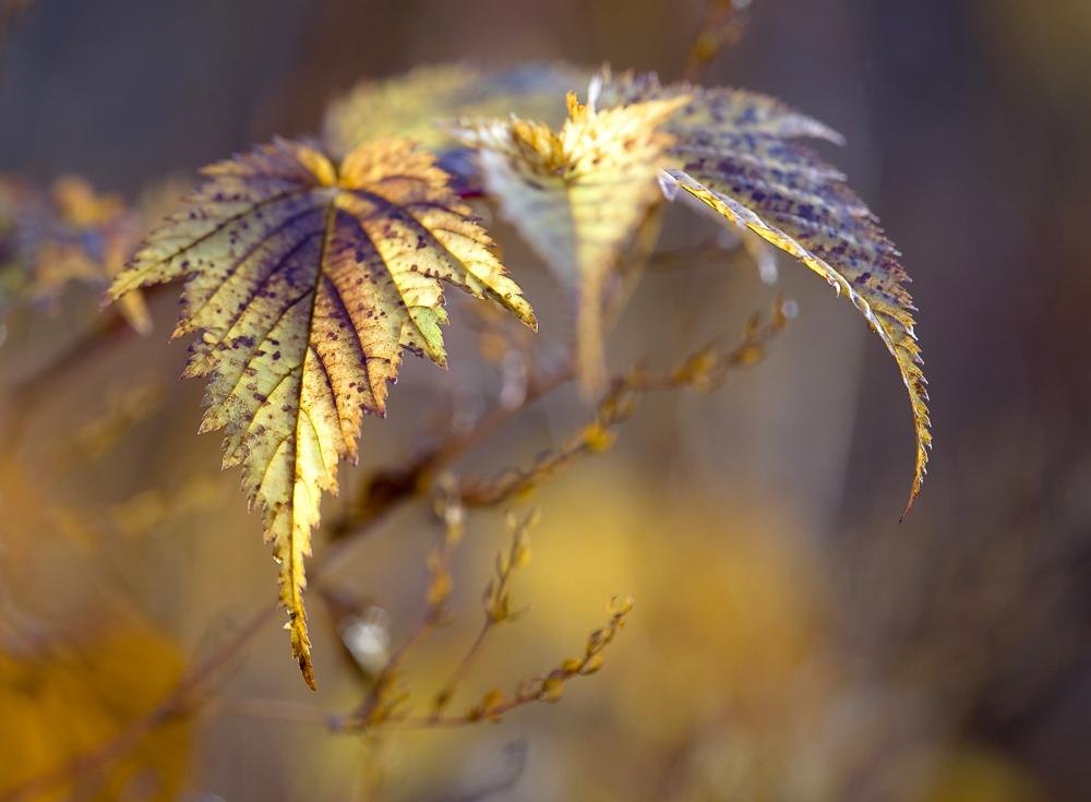 """фото """"осенняя мелодия"""" метки: макро и крупный план, природа, осень, свет"""