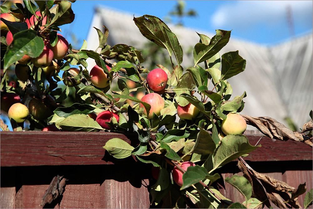 """фото """"Чужие яблочки."""" метки: природа, путешествия,"""