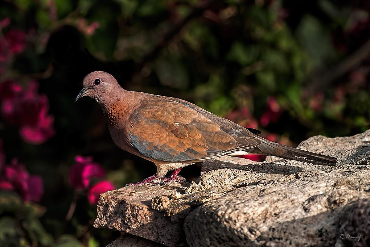 """фото """"Dove"""" метки: природа,"""