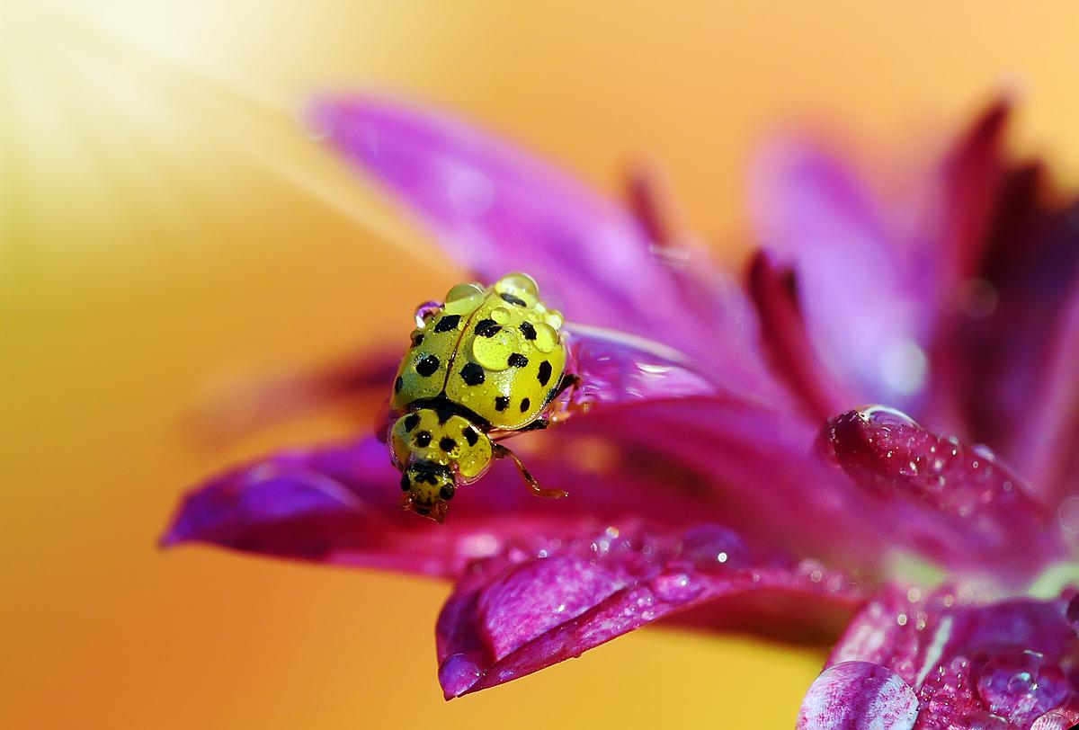 """фото """"Вот так бы разбежалась... и полетела..."""" метки: макро и крупный план, природа, божья коровка, макро, насекомое"""