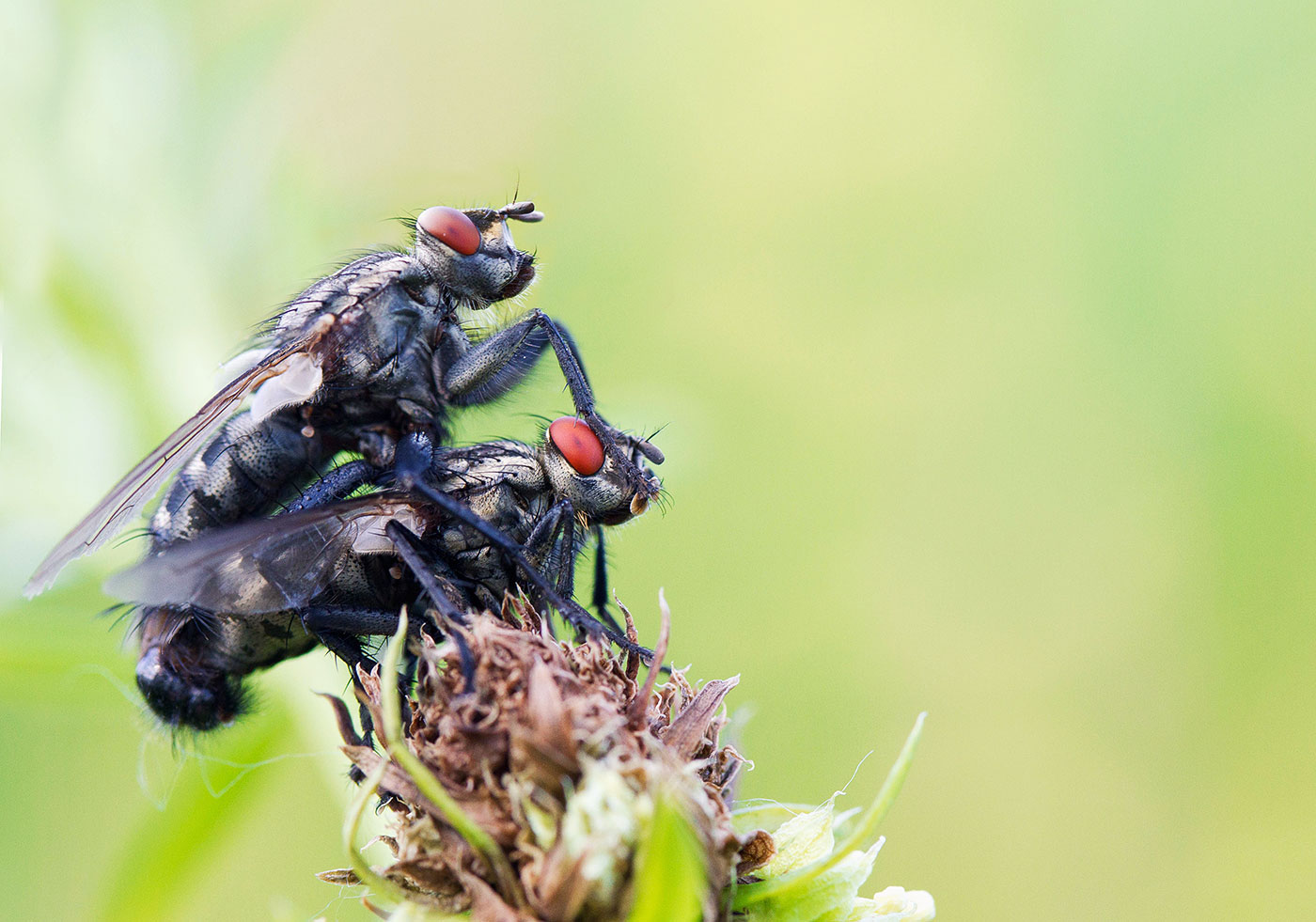 """фото """"пара мух"""" метки: природа, макро и крупный план,"""