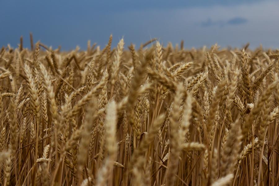 """фото """"Хлеб"""" метки: пейзаж, фрагмент, Запорожье, Украина, злаковые, пшеница, хлеб"""
