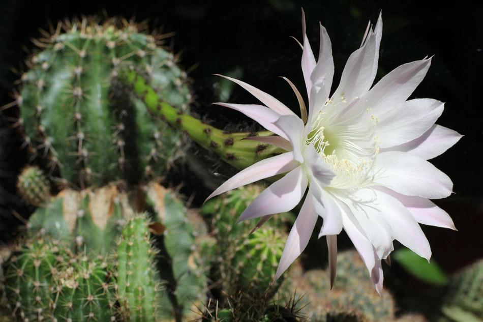 """фото """"Cacti on bloom"""" метки: природа, макро и крупный план, cacti, cacti in bloom, flower"""