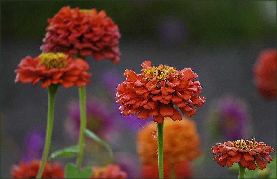 """фото """"Мой ответ О. Лобачеву и О. Козловой"""" метки: природа, Zinnia, Цинния, вечер, лето, цветы"""