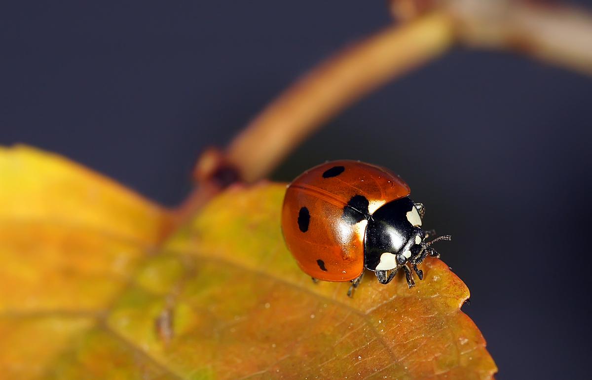 """фото """"Осенняя грусть"""" метки: макро и крупный план, природа, божья коровка, макро"""