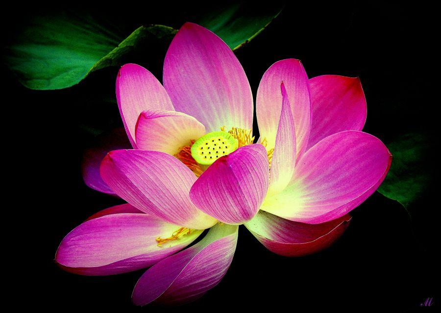 "фото ""Dance a lily on eyelash night"" метки: природа,"