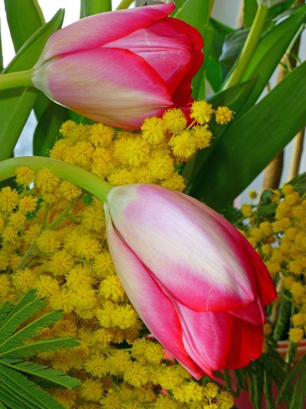 букеты мимоза с тюльпанами фото ошибочно называют