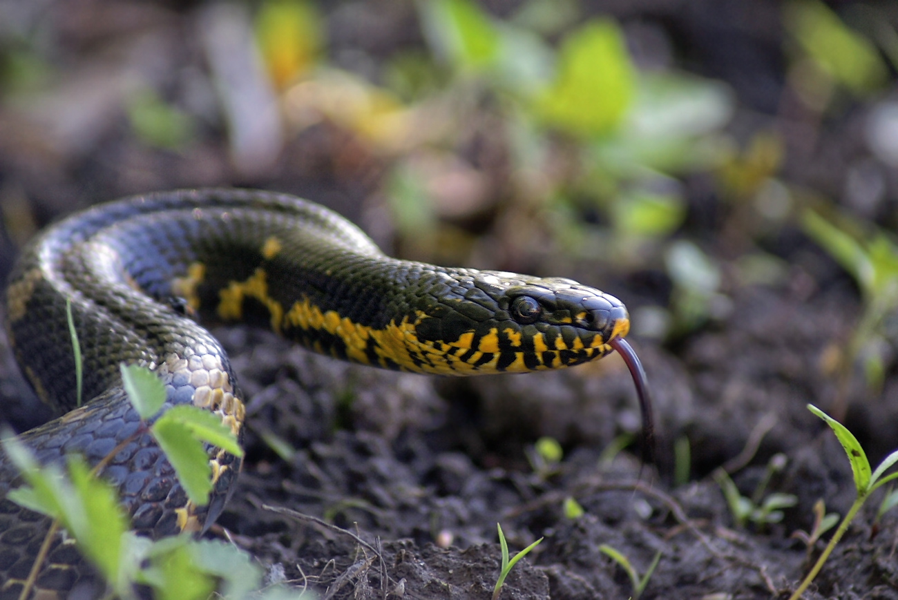 змеи амурской области фото и название данной