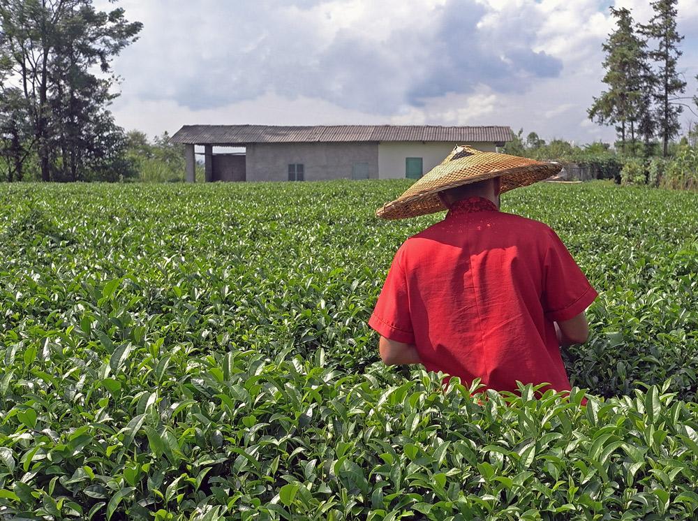абсолютно посещение настоящих чайных плантаций фото под проточной
