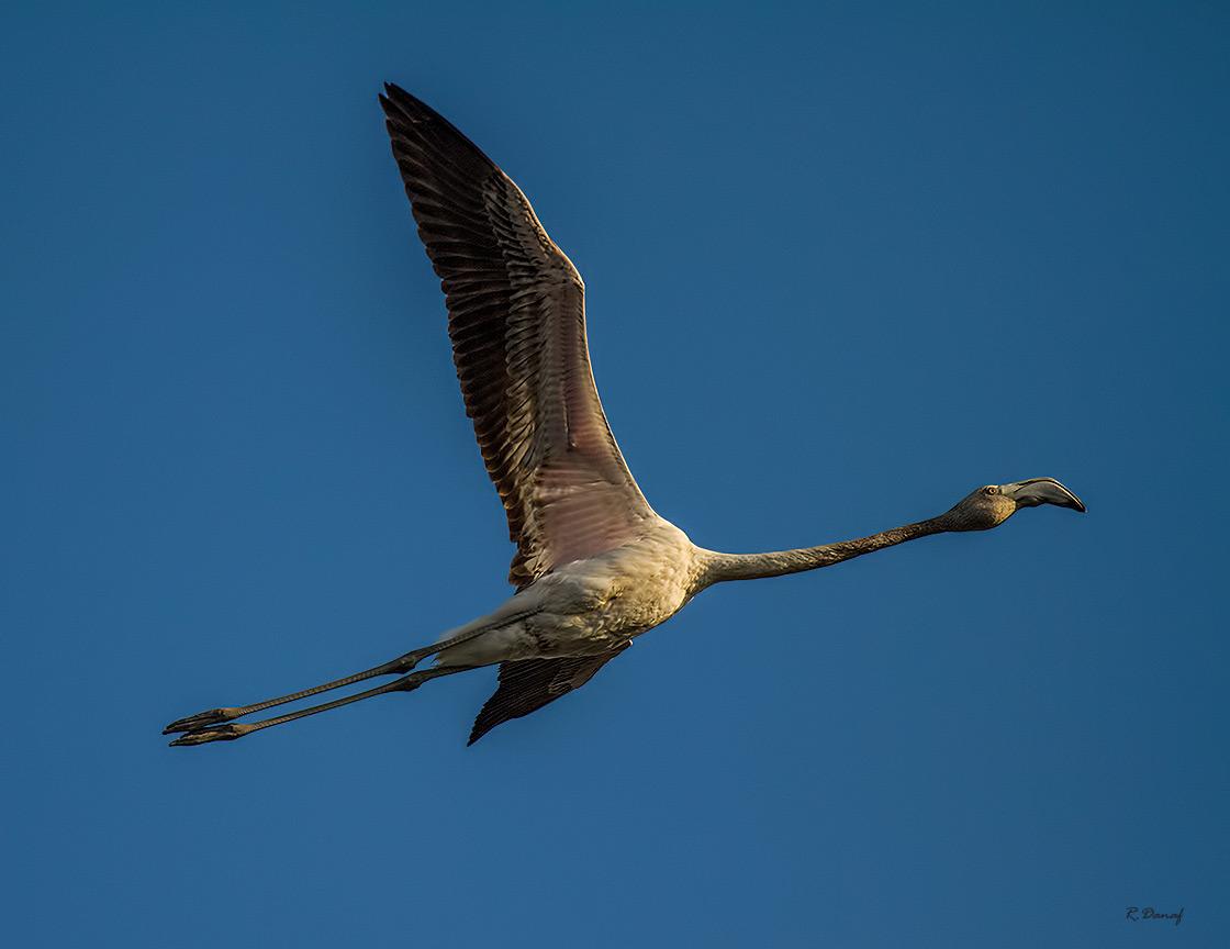 """фото """"Flamingo in flight"""" метки: природа,"""