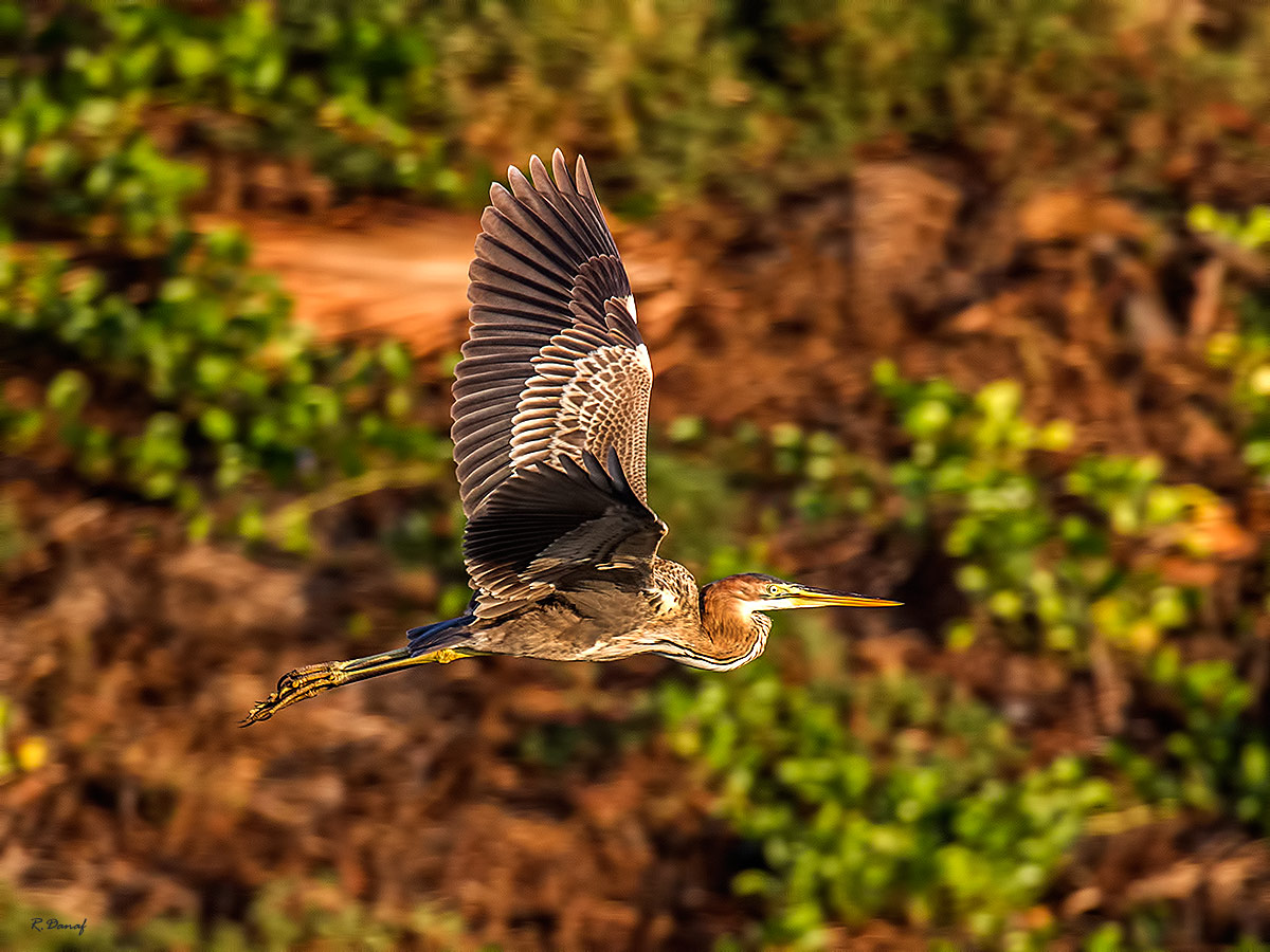"""photo """"Heron in flight"""" tags: nature,"""