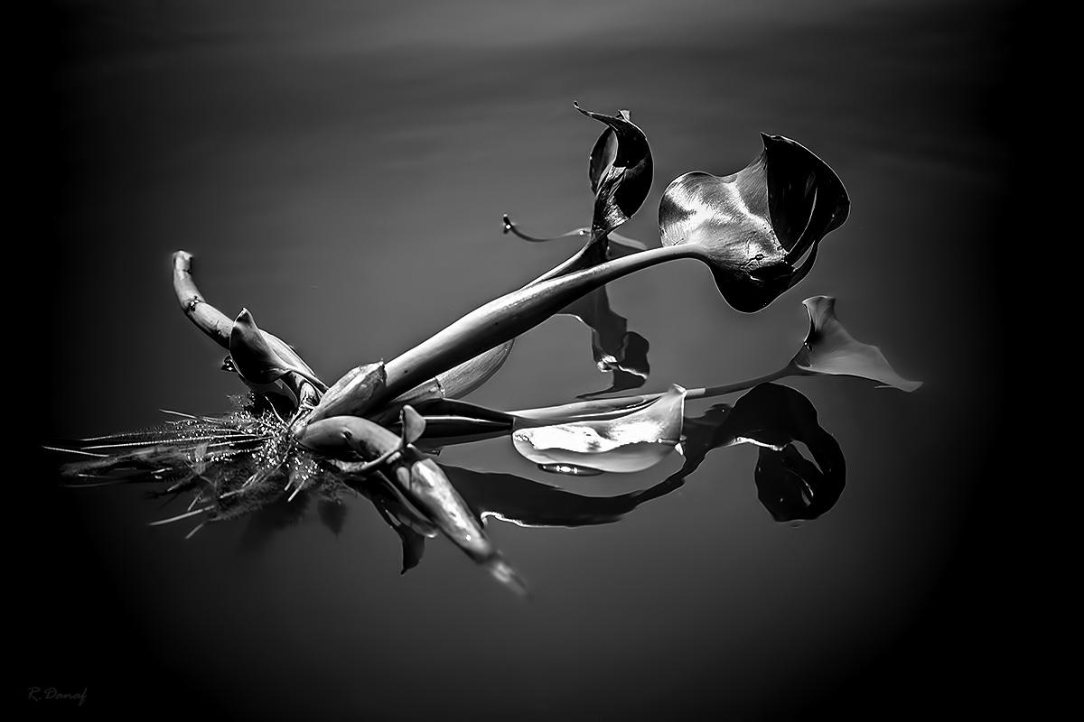 "фото ""Water hyacinths"" метки: природа, черно-белые,"