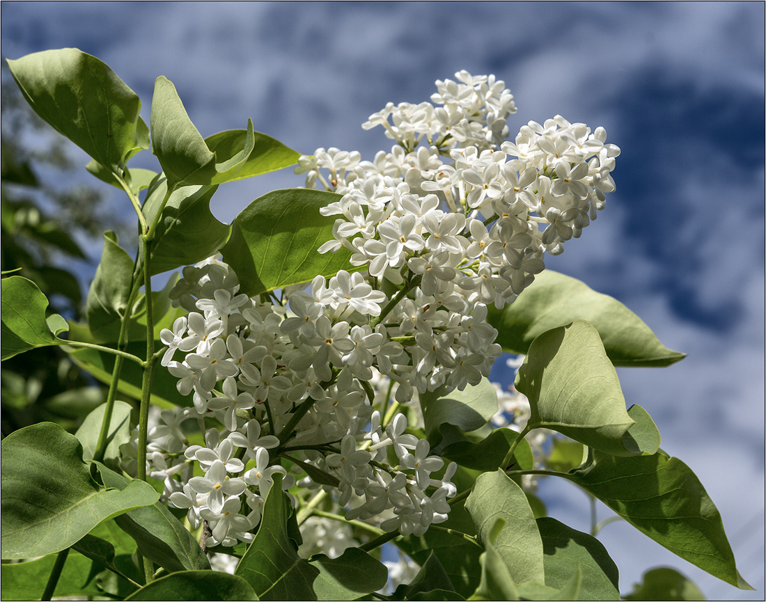 "photo ""White Lilac"" tags: macro and close-up, nature,"