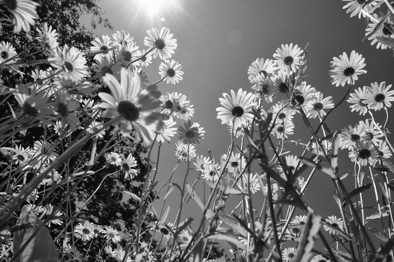 ромашки черно белые картинки внешние углы, откосы