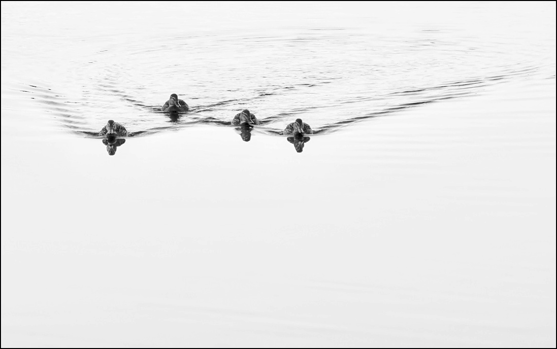 "photo ""duck flotilla"" tags: misc., nature, black&white,"
