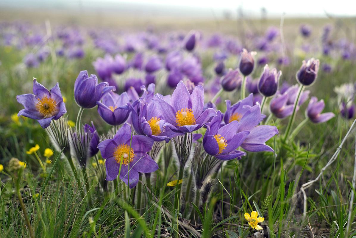 Степные цветы фото с названиями