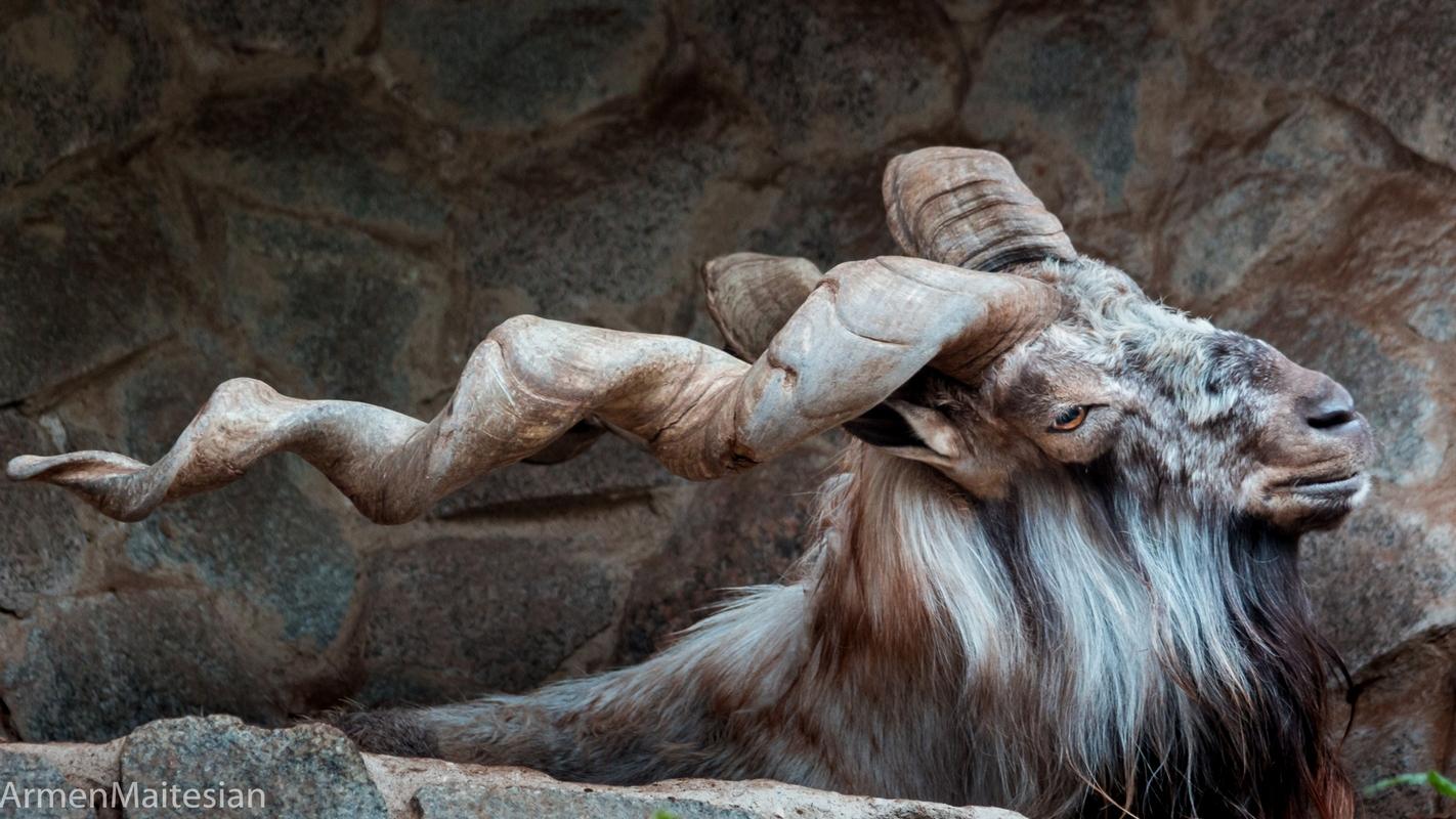 """фото """"Винторогий козел"""" метки: природа, портрет, козёл, рога"""