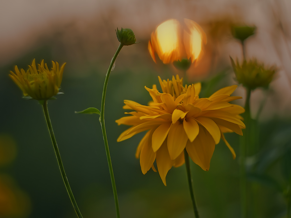 """photo """"***"""" tags: nature, macro and close-up, evening, flowers, meadow, summer, sunset"""