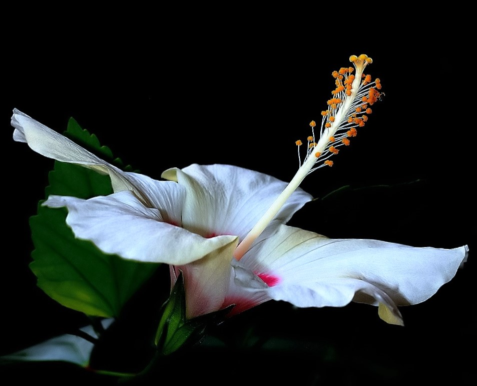 """фото """"White Hibiscus..."""" метки: макро и крупный план, природа,"""