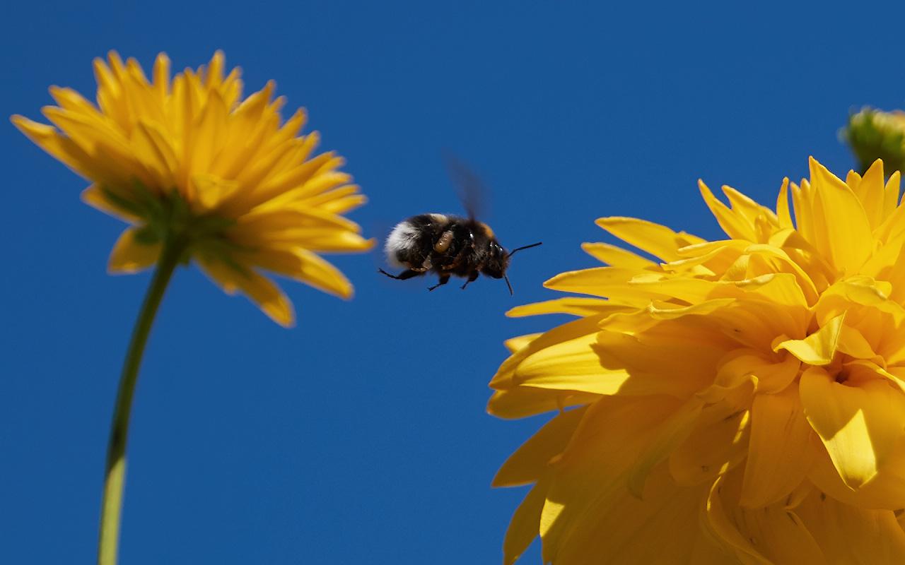 """фото """"Перелёт шмеля"""" метки: макро и крупный план, природа, Bumblebee, насекомое, шмель"""