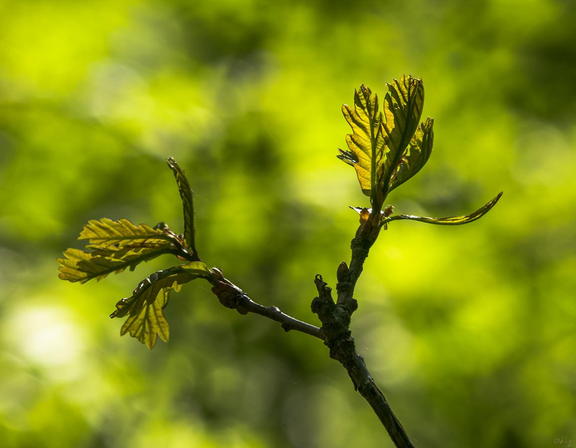"""фото """"Приветствие дуба..."""" метки: макро и крупный план, весна, лес"""