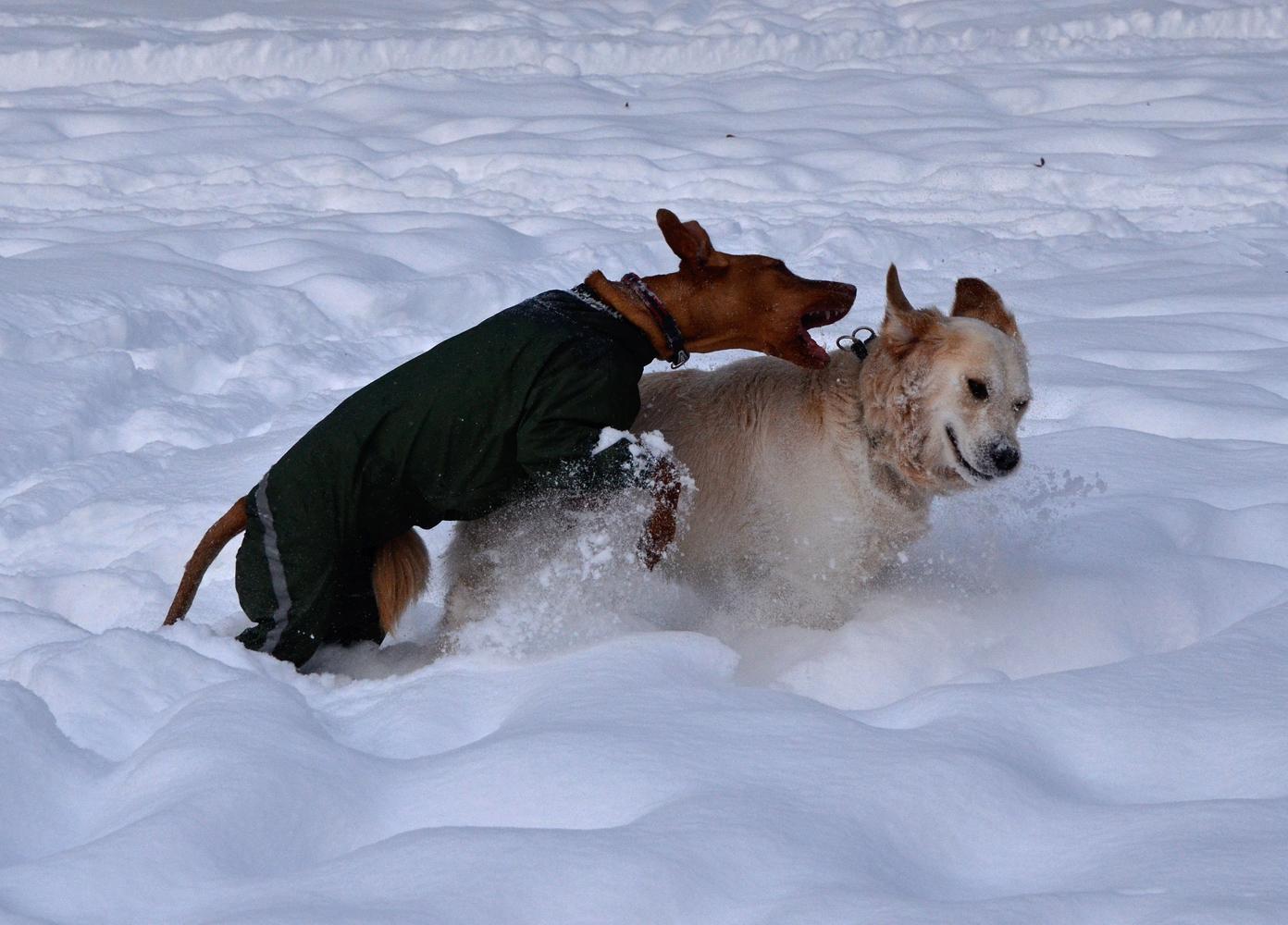 "photo ""***"" tags: misc., snow, winter, собаки"