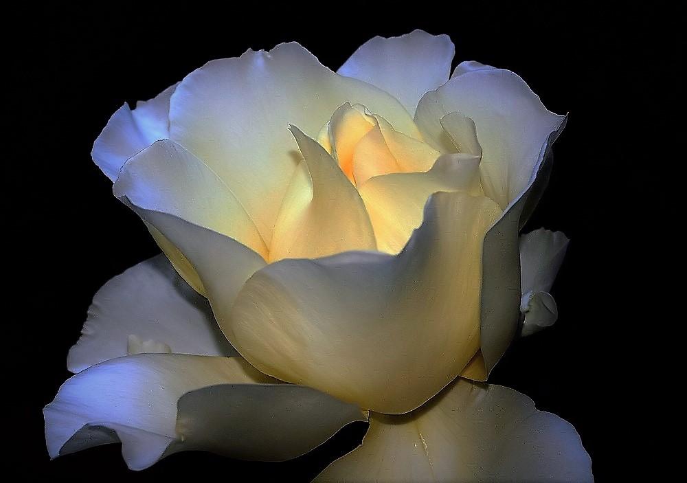 """фото """"A Rose..."""" метки: природа, макро и крупный план,"""