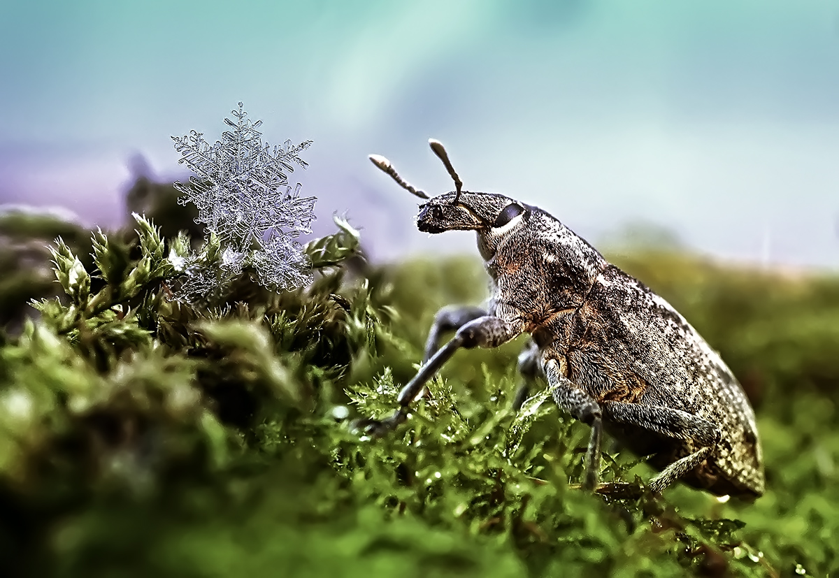 """photo """"***"""" tags: macro and close-up, nature, montage, insect, долгоносик, макро, снежинки"""