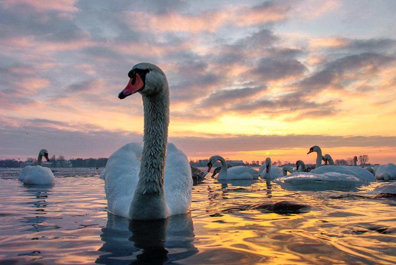 "photo ""***"" tags: nature, landscape, misc., winter, Балтийск, Балтика, Балтика. море, Калининградская область, лебеди, лебедь, птицы"