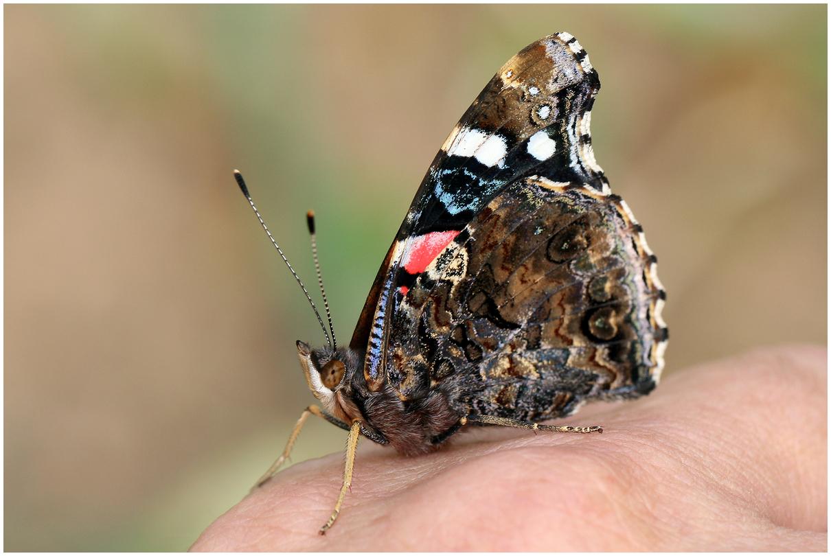 """photo """"Vanessa atalanta - 2"""" tags: nature, macro and close-up,"""