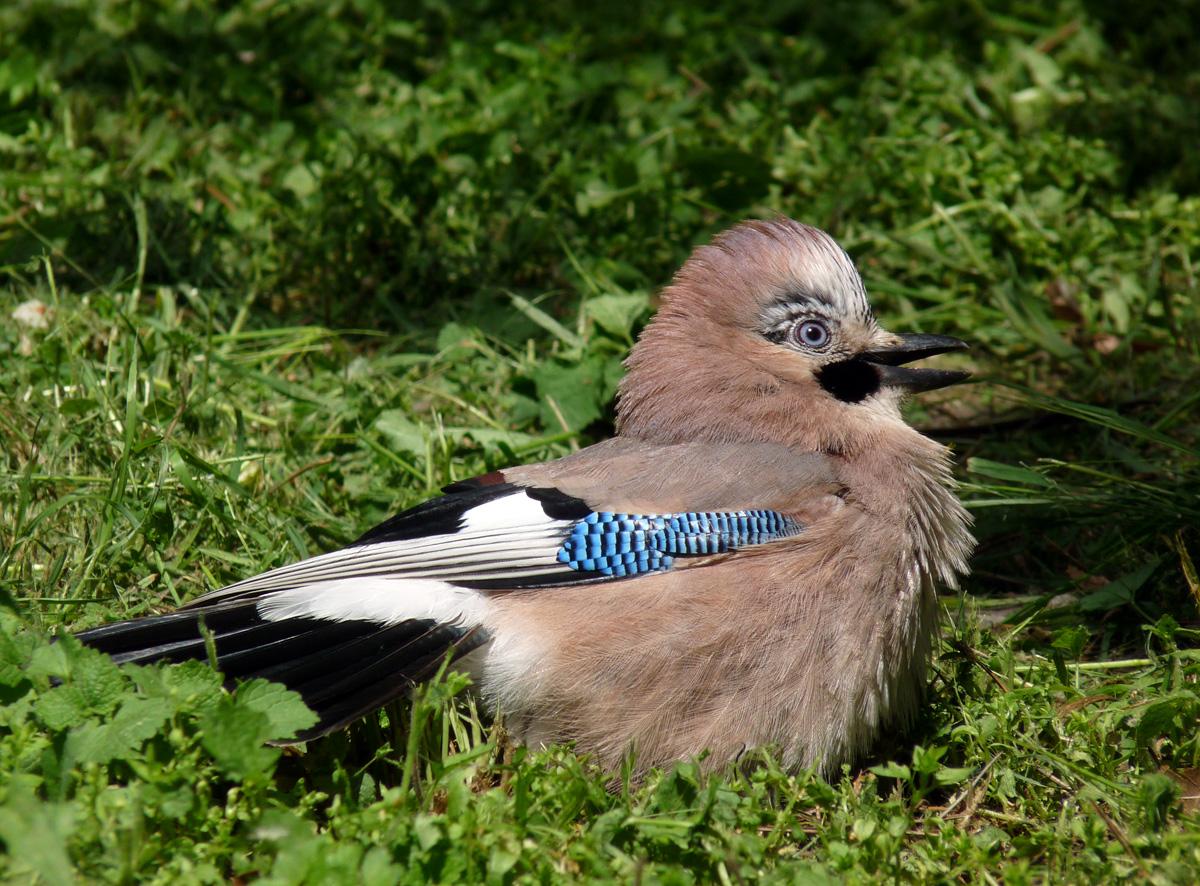 показать фото птицы сойки выведена естественным путем