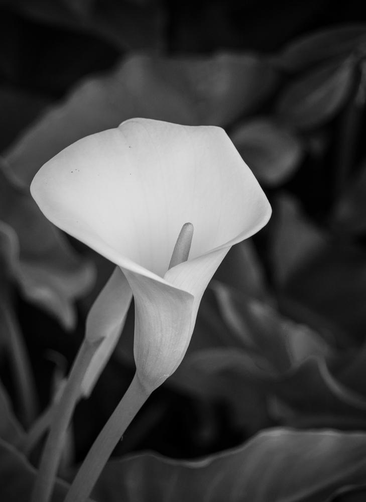 """фото """"Цветок Калла"""" метки: черно-белые, Calla Lilly, Калла"""