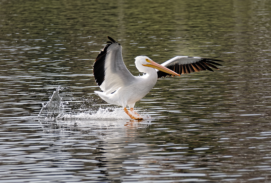 "photo ""Pelican"" tags: nature, misc., wild animals bird"