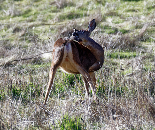 """photo """"Deer playing with his tail"""" tags: nature, misc., wild animals"""