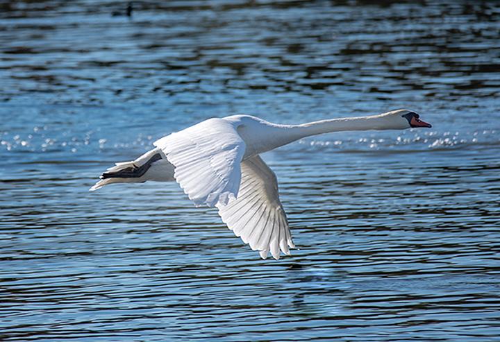 """photo """"Swan"""" tags: nature, misc., wild animals bird"""