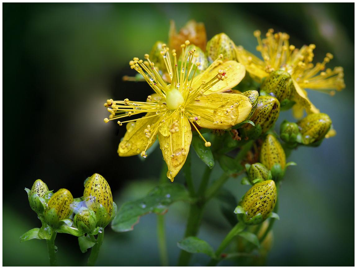 "photo ""Hypericum"" tags: nature, macro and close-up,"