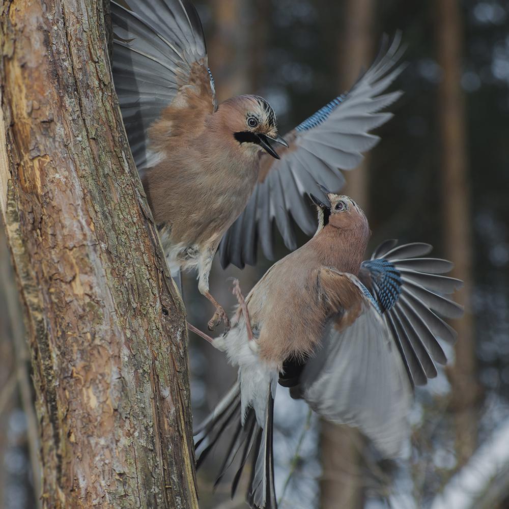 "фото ""Забияки"" метки: природа, птицы"