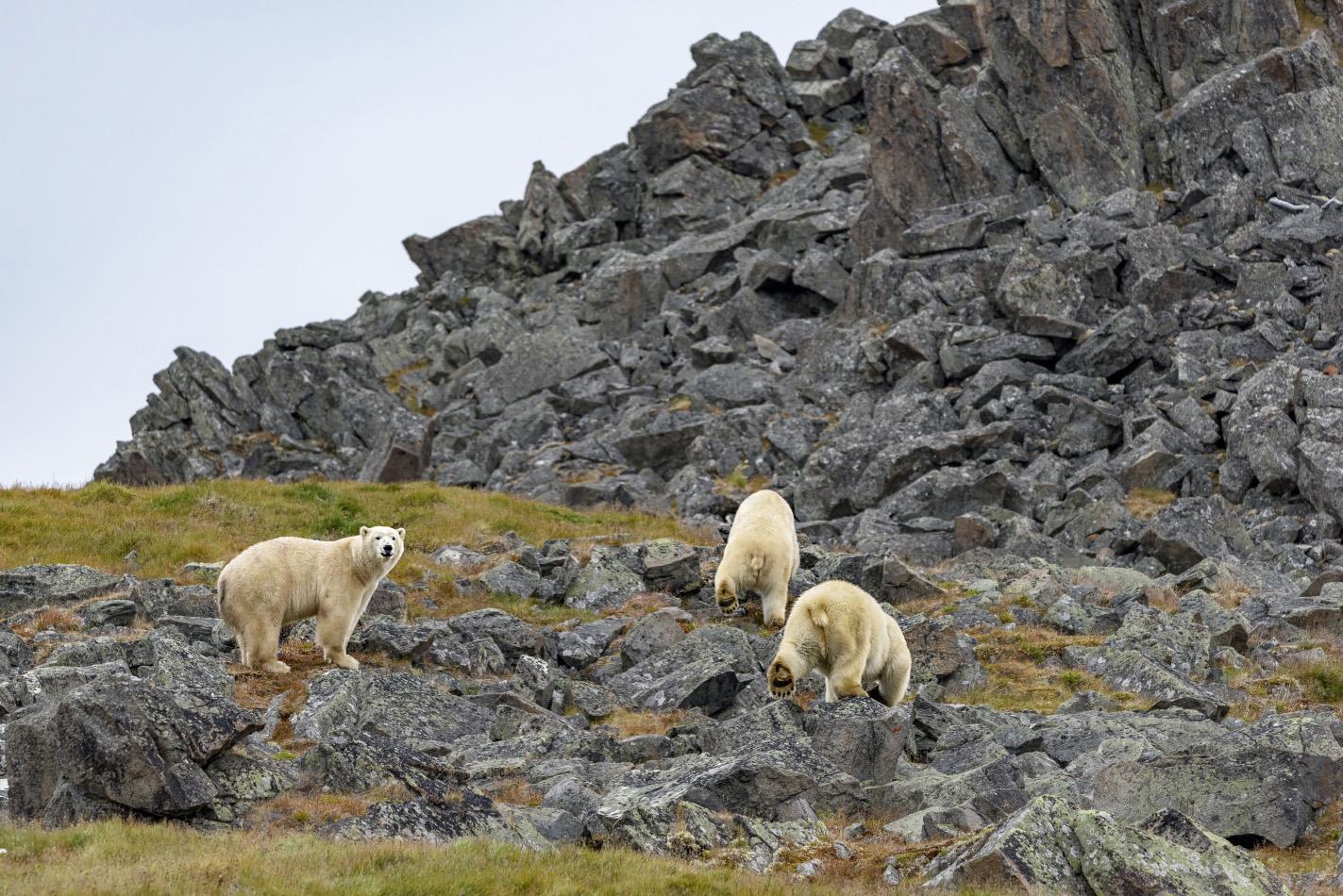 "photo ""***"" tags: nature, travel, summer, Чукотка, белый медведь, животные, путешествие"