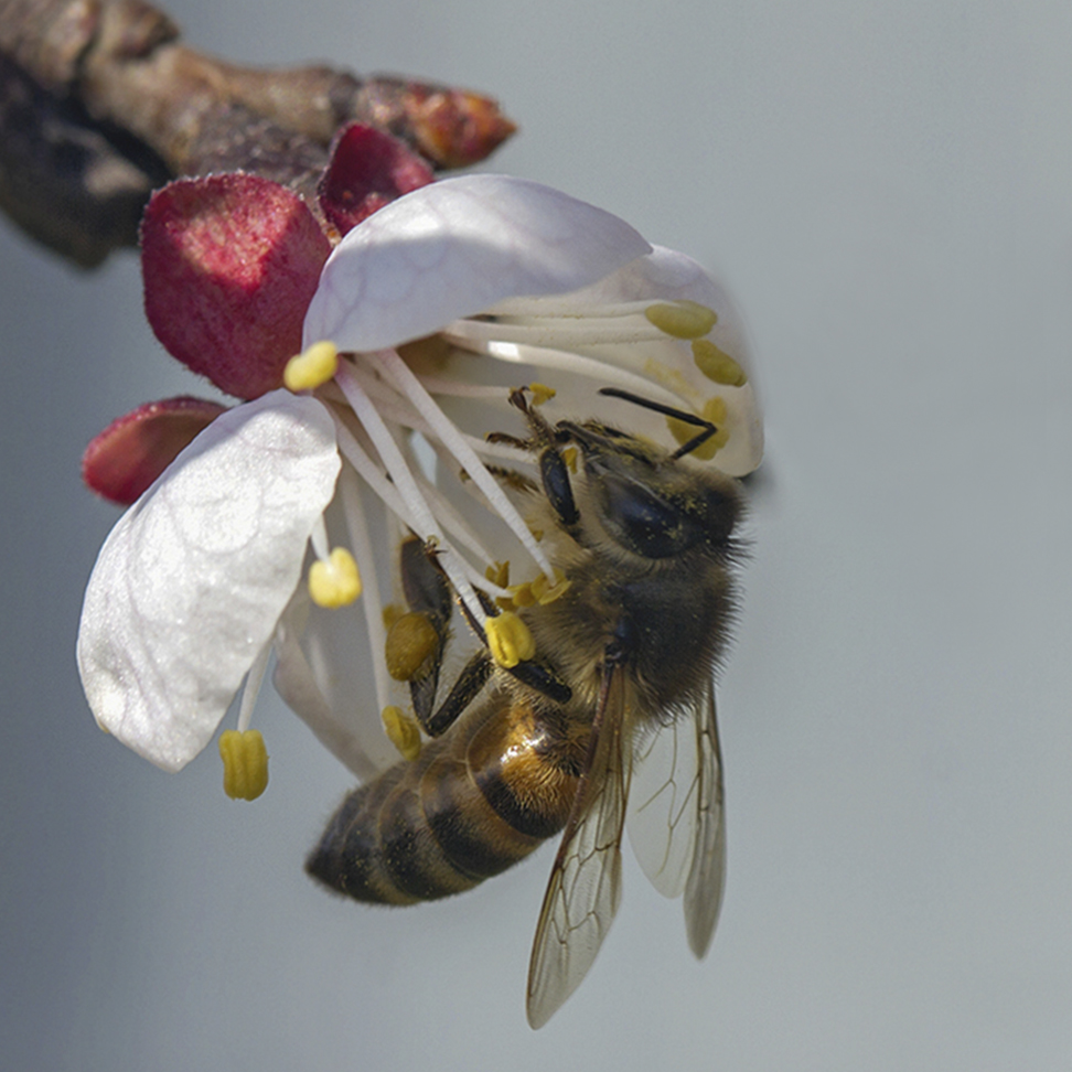 "photo ""***"" tags: macro and close-up, spring, абрикос, пчела"