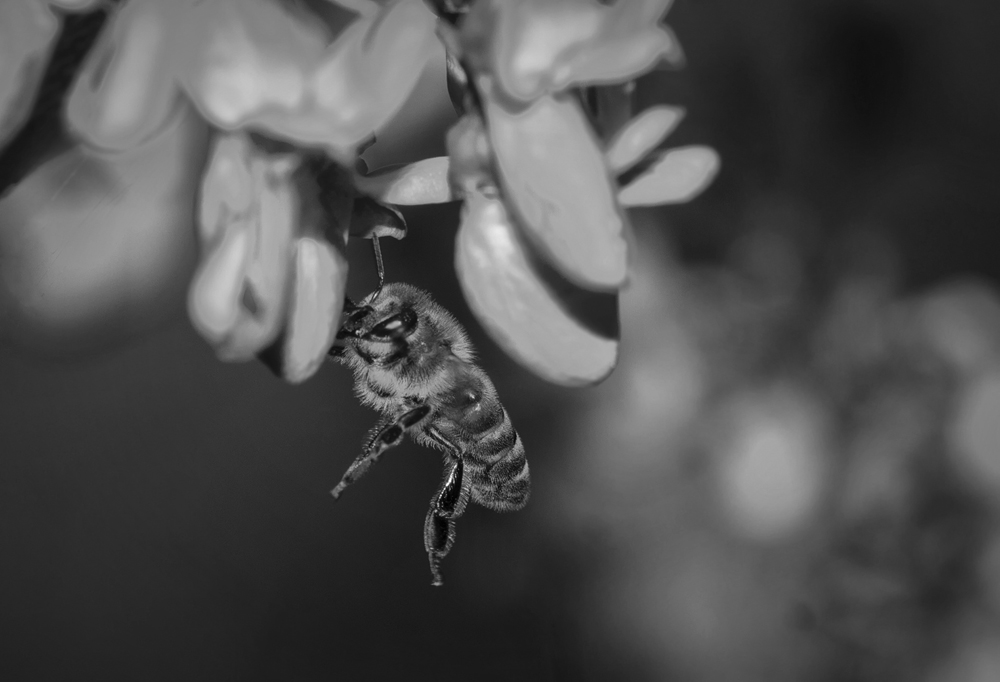 "photo ""***"" tags: black&white, macro and close-up, пчела"